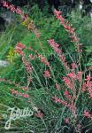 HESPERALOE parviflora   Portion(s)
