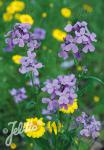 HESPERIS matronalis   Portion(en)