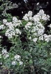 HESPERIS matronalis var. albiflora   Portion(s)