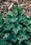 HEUCHERA americana   Portion(en)
