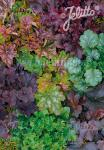 HEUCHERA (H.americana x H.micrantha)  Newest Hybr. Portion(s)