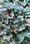 HEUCHERA americana  'Palace Purple Auslese' Portion(en)