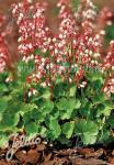 HEUCHERA pulchella   Portion(en)