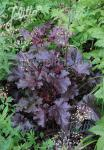 HEUCHERA americana  'Melting Fire'