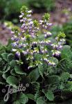 HORMINUM pyrenaicum f. alboviolaceum   Portion(s)