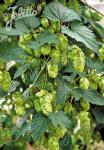 HUMULUS lupulus   Portion(en)