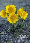 HYMENOXYS grandiflora