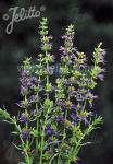 HYSSOPUS officinalis  'Caeruleus' Portion(en)