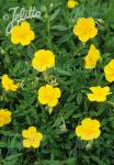HELIANTHEMUM nummularium   Seeds