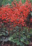 HEUCHERA sanguinea  'Leuchtkäfer' Seeds