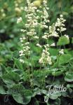 HEUCHERA sanguinea  'White Cloud' Seeds