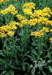 HELENIUM hoopesii   Portion(en)