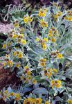 INULA candida ssp. verbascifolia   Portion(s)