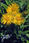 INULA orientalis grandiflora   Portion(s)