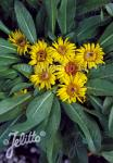 INULA rhizocephala   Portion(s)