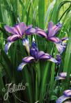 IRIS graminea   Portion(s)
