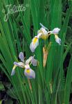 IRIS virginica var. shrevei   Portion(en)