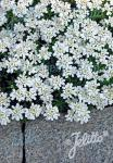 IBERIS sempervirens  'Snow Cushion' Korn