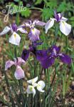 IRIS kaempferi   Seeds