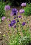 JASIONE laevis  'Blaulicht' Portion(s)