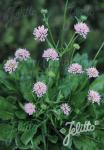 KNAUTIA macedonica  'Midget Mauves' Portion(en)