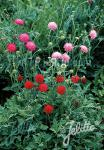 KNAUTIA macedonica  'Melton Pastels' Portion(s)