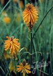 KNIPHOFIA galpinii   Portion(s)