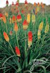 KNIPHOFIA uvaria  'Grandiflora Mixture' Portion(s)