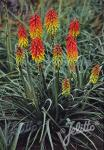KNIPHOFIA hirsuta  'Fire Dance' Seeds