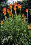 KNIPHOFIA rooperi   Seeds