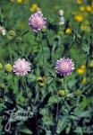 KNAUTIA arvensis   Portion(en)