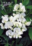 LATHYRUS latifolius  'White Pearl' Portion(s)