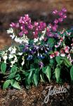 LATHYRUS vernus  'Rainbow' Portion(s)