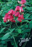 LATHYRUS rotundifolius   Portion(en)