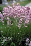 LAVANDULA angustifolia Ellagance-Series 'Ellagance Pink' Portion(s)