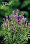 LAVANDULA stoechas  'Bandera Purple' Portion(en)