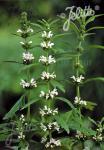 LEONURUS japonicus  'Alba' Portion(s)