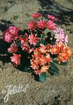 LEWISIA Cotyledon-Hybr.  'Mixture' Portion(s)