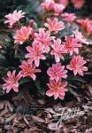 LEWISIA Longipetala-Hybr. Little-Series 'Little Plum' Portion(s)