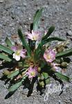 LEWISIA pygmaea