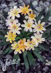 LEWISIA Longipetala-Hybr. Little-Series 'Little Peach'