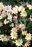 LEWISIA tweedyi  'Lovedream' Portion(en)