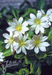 LEWISIA tweedyi  'Alba' Portion(en)