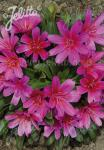 LEWISIA Longipetala-Hybr. Little-Series 'Little Raspberry'