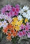 LEWISIA Longipetala-Hybr. Little-Series 'Little Tutti Frutti' Portion(s)
