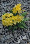 LEWISIA Cotyledon-Hybr.  'Elise Golden Yellow' Portion(en)