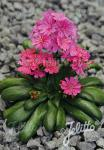 LEWISIA Cotyledon-Hybr.  'Elise Ruby Red' Portion(en)