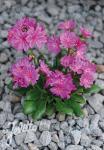 LEWISIA Cotyledon-Hybr.  'Elise Ultra Violet' Portion(en)