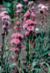 LIATRIS elegans   Portion(en)