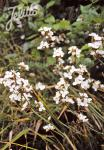 LIBERTIA formosa   Portion(s)
